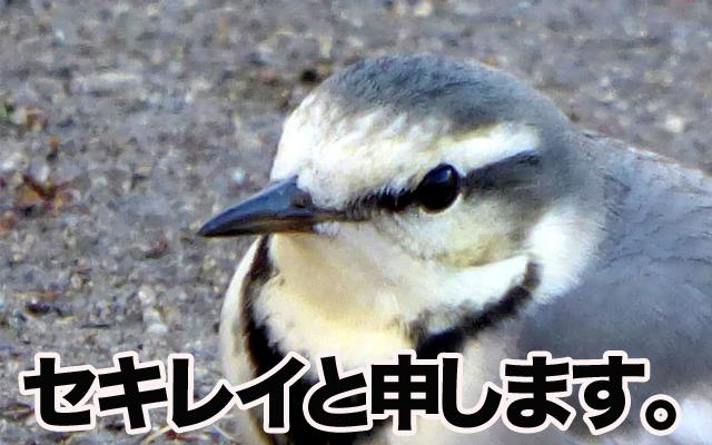 ギリギリまで逃げない鳥セキレイ