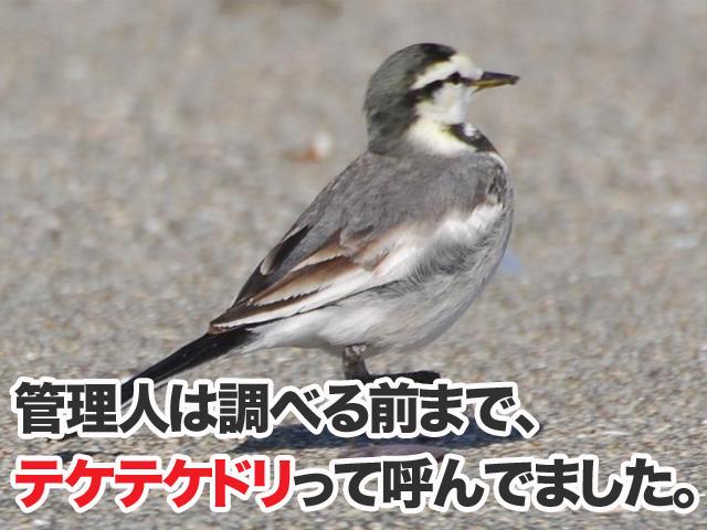 車で轢きそうで轢いてない鳥セキレイ